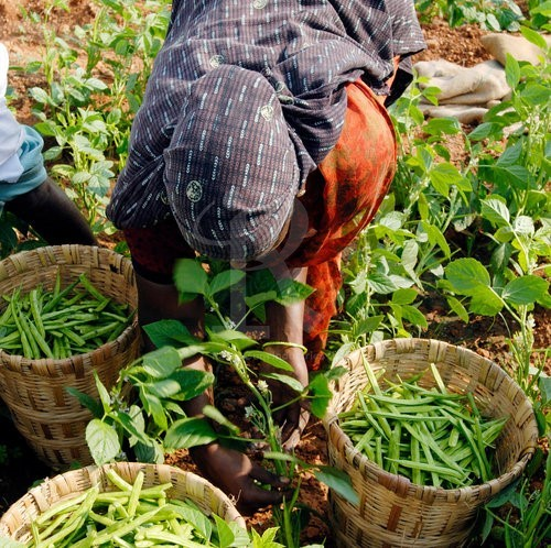 Cultivation of Organically grown guar